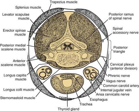 Anatomy and Developmental Embryology of the Neck | Ento Key