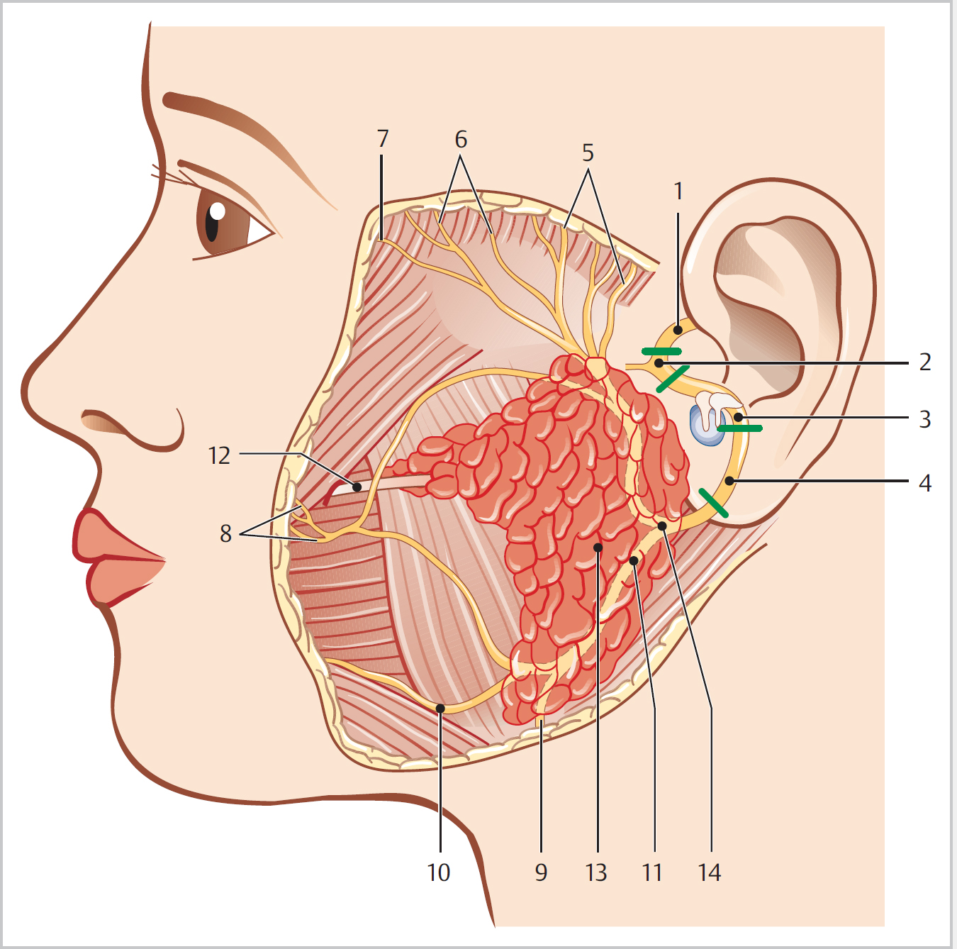Shapes,a facial nerve picture