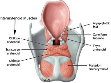 Laryngeal Anatomy Ento Key