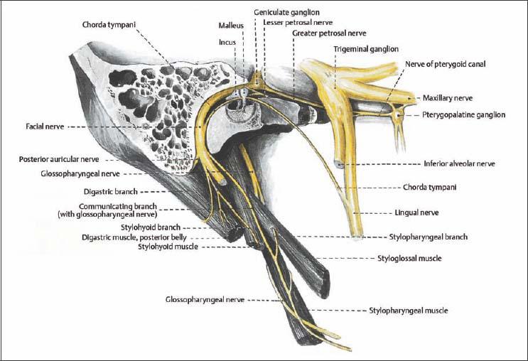 Facial Nerve Applecool Info