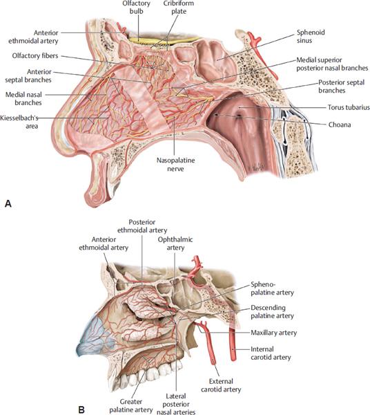Lateral Nasal Artery 58334 | INFOVISUAL  Lateral Nasal A...