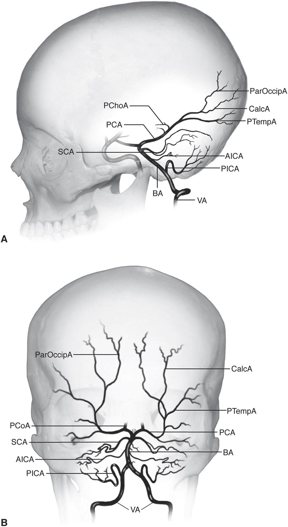 Chapter 1: Neuro-Ophthalmic Anatomy | Ento Key