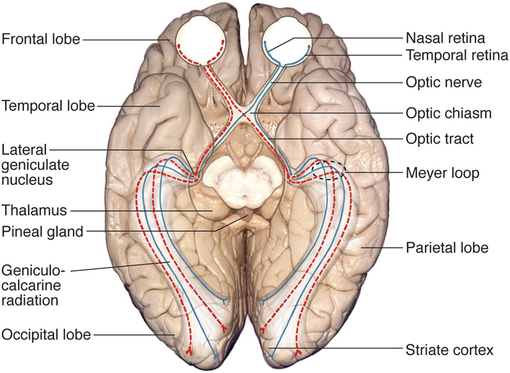 Chapter 1 Neuro Ophthalmic Anatomy Ento Key