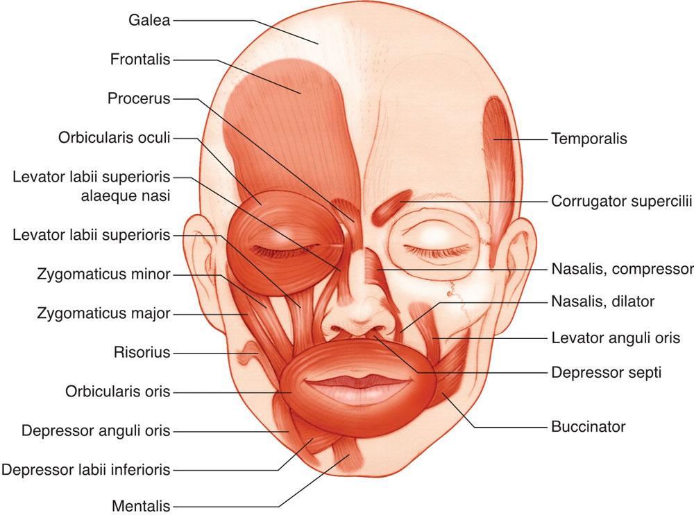 Facial and Eyelid Anatomy | Ento Key