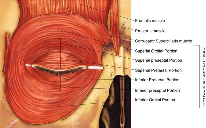 Eyelid Anatomy | Ento Key