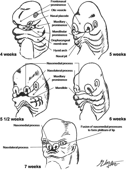 Nasal Septal And Turbinate Anatomy And Embryology